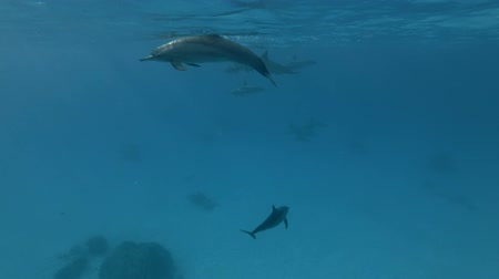 delfín : A pod of Spinner dolphins - Stenella longirostris swims in the blue water under the surface Dostupné videozáznamy