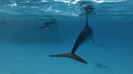 gray's : A pod of Spinner dolphins - Stenella longirostris swims in the blue water under the surface Stock Footage