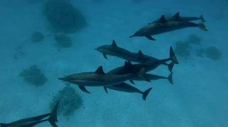стручок : A pod of Spinner Dolphins - Stenella Longirostris Swims High-angle shot Стоковые видеозаписи