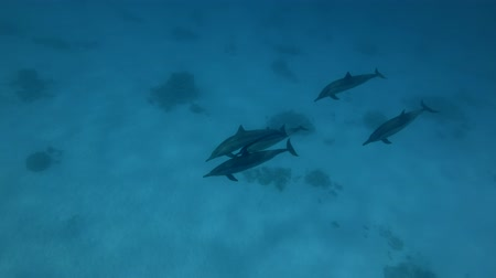 gray's : A pod of Spinner Dolphins - Stenella Longirostris Swims High-angle shot Stock Footage