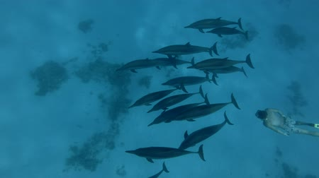 delfín : Spinner dolphins - Stenella longirostris swims in the blue water. Underwater shot, high-angle shot Dostupné videozáznamy