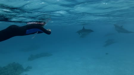 gray's : Spinner dolphins - Stenella longirostris swims in the blue water. Underwater shot, Low-angle shot