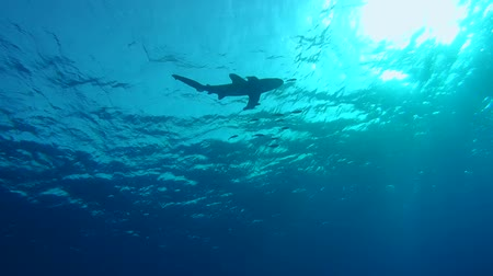 lesser : Oceanic Whitetip - Low-angle shot, Oceanic Whitetip Shark Stock Footage
