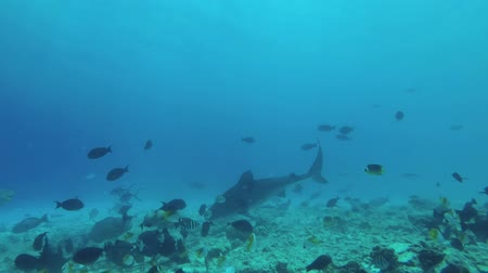 леопард : Tiger shark swims Underwater shot, Tiger Shark (Galeocerdo cuvier), Indian Ocean, Maldives