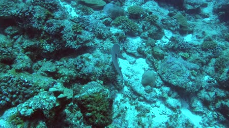 single shot : Shark swim over coral reef. High-angle shot, Whitetip reef shark (Triaenodon obesus), Indian Ocean, Maldives Stock Footage