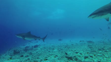 леопард : Two Tiger Shark Swims Underwater shot, Tiger Shark (Galeocerdo cuvier), Indian Ocean, Maldives Стоковые видеозаписи