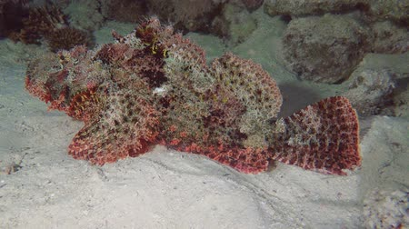 треска : Bearded Scorpionfish - Red Sea, Marsa Alam, Egypt