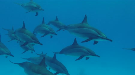 gray's : Pod of Dolphins swim in the blue water. Spinner Dolphins - Stenella longirostris, Red Sea, Marsa Alam, Egypt