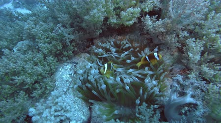 csibész : Anemonefish swim near anemone among soft corals - Red Sea, Sea Sea