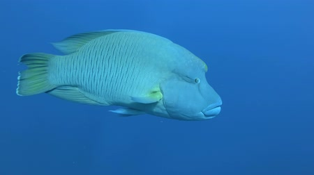single headed : Napoleon approaching in blue water. Humphead Wrasse or Napoleonfish - Cheilinus undulatus, Red Sea, Marsa Alam, Egypt
