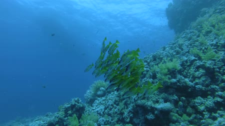 sereg : School of yellow swim over coral reef. Dory snapper or Blackspot snapper - Lutjanus fulviflamma, Red Sea, Marsa Alam, Egypt