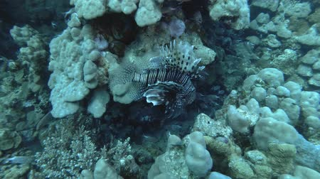 scorpionfish : Lionfish swaying in the current near coral reef. Red Lionfish - Pterois volitans, Red Sea, Marsa Alam, Egypt Stock Footage