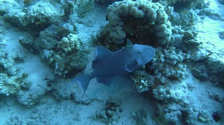 триггер : Blue Triggerfish - Pseudobalistes fuscus near coral reef, Red Sea, Marsa Alam, Egypt