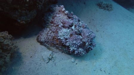 scorpionfish : Pink stonefish lying next to a coral reef. Reef Stonefish - Synanceia Verrucosa, Red Sea, Marsa Alam, Egypt