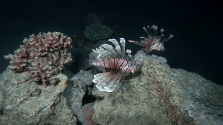 scorpionfish : Pair Lionfish swim over coral reef in the nigtht. Red Lionfish - Pterois volitans, Red Sea, Marsa Alam, Egypt