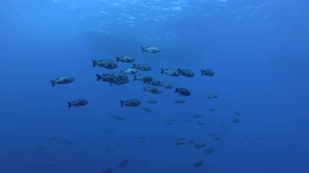 niger : school of Snapper swim in the blue water. Midnight Snapper - Macolor macularis, Red Sea, Marsa Alam, Egypt