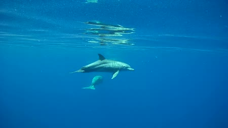 delfín : Bottlenose Dolphin Swim in the Ocean