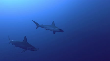 hammerhead : Pair Hammerheads swim in the blue water. Scalloped hammerhead or Hammerhead shark - Sphyrna lewini, Red Sea, Egypt