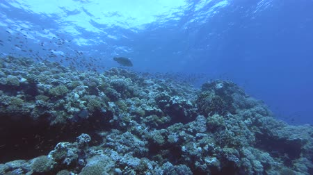 single shot : Coral Reef - Low-angle shot, Humphead Wrasse or Napoleonfish - Cheilinus undulatus, Red Sea, Marsa Alam, Egypt