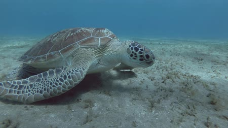 běžný : Green Sea Turtle - Chelonia Mydas, Red Sea, Marsa Alam, Abu Dabab, Egypt