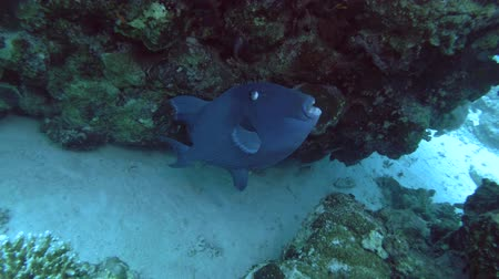 триггер : Blue Triggerfish - Pseudobalistes fuscus under coral reef, Red Sea, Marsa Alam, Abu Dabab, Egypt