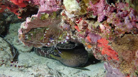benekli : Moray and shrimps under reef. Undulated moray - Gymnothorax undulatus and