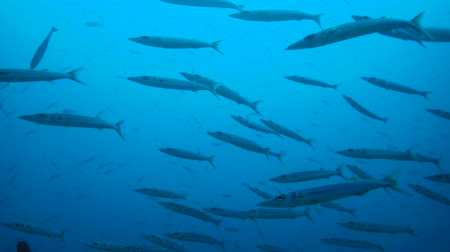sereg : Large school of Barracudas swim in the blue water. Bigeye Barracuda - Sphyraena forsteri, Indian Ocean, Maldives,