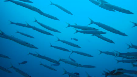 szczupak : Large school of Barracudas swim in the blue water. Bigeye Barracuda - Sphyraena forsteri, Indian Ocean, Maldives,