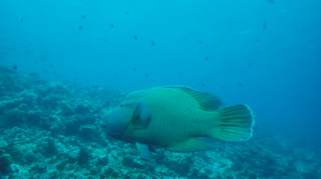 papagaio : Humphead Wrasse or Napoleon (Cheilinus undulatus), Indian Ocean, Maldives