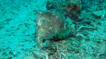 sepia : cuttlefish changing color slowly swims over a coral reef. Broadclub Cuttlefish - Sepia latimanus, Bali, Indonesia