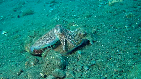 sexo : mating season cuttlefish - Pharaoh Cuttlefish (Sepia pharaonis) Bali, Indonesia