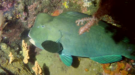 single headed : Green Humphead Parrotfish - Bolbometopon muricatum clung to the reef at night, Bali, Indonesia