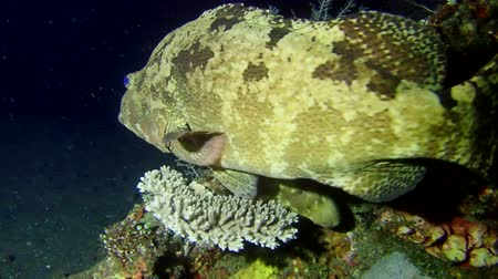flowery : Grouper swim near coral reef in the night. Brown-marbled Grouper - Epinephelus fuscoguttatus, Bali, Indonesia