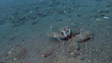 sexo : Mating season Cuttlefish, three Cuttlefish swim over black volcanic sand. Pharaoh Cuttlefish - Sepia pharaonis, Bali, Oceania, Indonesia
