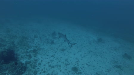 bovenaanzicht : Whitetip Reef Shark - Triaenodon obesus zwemmen over zandbodem. Bovenaanzicht, Bali, Oceanië, Indonesië Stockvideo