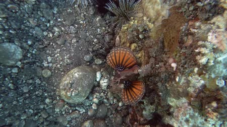 morina : Zebra Turkeyfish swin near reef. Fire Zebra Lionfish - Dendrochirus zebra, Bali, Oceania, Indonesia Stok Video