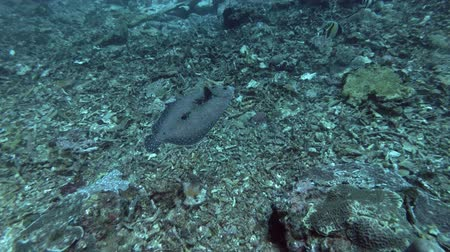 single shot : Flounder fish slowly swim over corals bottom. Leopard Flounder - Bothus pantherinus, Bali, Oceania, Indonesia Stock Footage