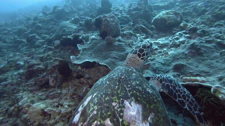 zeeschildpad : Sea Turtle is a coral reef. Hawksbill Sea Turtle or Bissa - Eretmochelys imbricata, Bali, Oceania, Indonesia