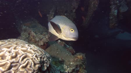 niger : Snapper swim inside shipwreck USAT Liberty. Midnight Snapper - Macolor macularis, Bali, Oceania, Indonesia