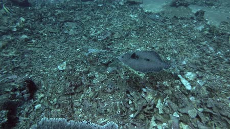 panter : Flounder fish slowly swim over corals bottom. Leopard Flounder - Bothus pantherinus, Bali, Oceania, Indonesia Stok Video