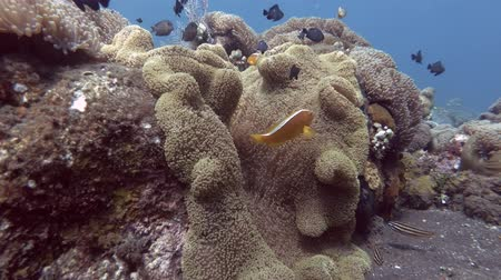 anemon : Anemone with Orange Skunk Clownfish