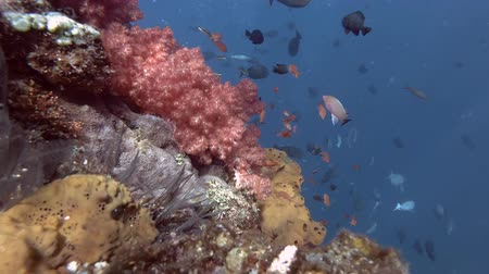 indo pacific ocean : Coral reef, Bali, Oceania, Indonesia Stock Footage