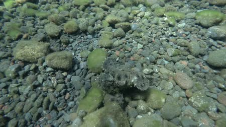 gigante : Frogfish walks the black rocky bottom. Commersons Frogfish, Giant Frogfish or Big Angler - Antennarius commerson, Bali, Oceania, Indonesia Stock Footage