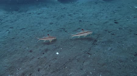 koza : Goatfish pair on the black volcanic sand. Bartail Goatfish - Upeneus vittatus, Bali, Oceania, Indonesia