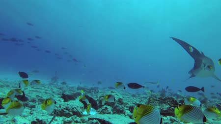 maldivas : Fish swims nearby. Tiger Shark, Galeocerdo cuvier, Indian Ocean, Fuvahmulah Atoll, Tiger Zoo, Maldives