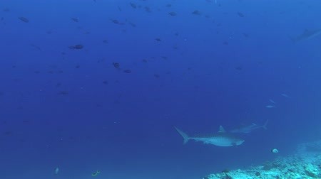 леопард : Tiger Sharks are slowly swim in the blue water near reef. Tiger Shark, Galeocerdo cuvier, Indian Ocean, Fuvahmulah Atoll, Tiger Zoo, Maldives