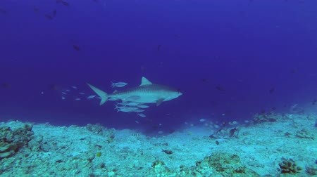 леопард : Tiger Shark are swimming nearby. Tiger Shark, Galeocerdo cuvier, Indian Ocean, Fuvahmulah Atoll, Tiger Zoo, Maldives