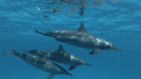 dolphin : Family of Dolphins, mom and two teenagers are slowly swim. Spinner Dolphin, Stenella longirostris, Red Sea, Sataya Reef, Marsa Alam, Egypt, Africa