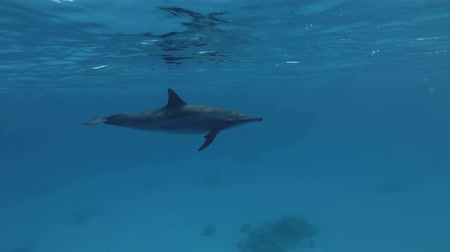 gray's : Spinner Dolphin, Stenella longirostris slowly swim under the blue water. Red Sea, Sataya Reef, Marsa Alam, Egypt, Africa Stock Footage