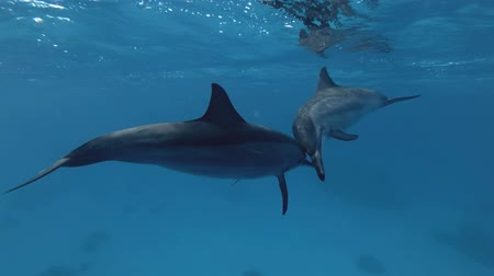 delfín : Two bubbles and rub noses. Spinner Dolphin, Stenella longirostris, Red Sea, Sataya Reef, Marsa Alam, Egypt, Africa
